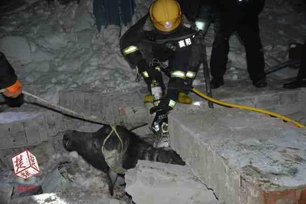 积雪压塌牛棚42头牛被埋 消防紧急救缓大半获救